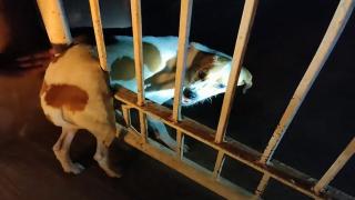 Parmaklıklara sıkışan köpek böyle kurtarıldı