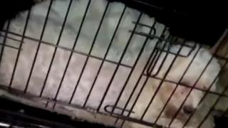 Ankara'da damızlık olarak kullanılan cins köpeklerin ses tellerini kestiler