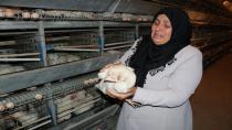 10 bin tavuk telef oldu! Sahibi ağıt yaktı