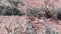 Zeytin ağaçlarını gövdelerinden kırıp attılar